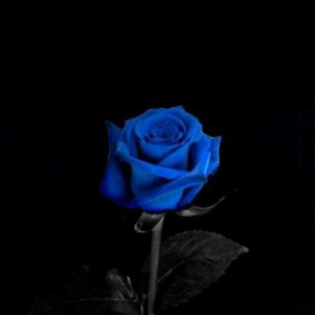 плане плачущая синяя роза черно белое фото вид